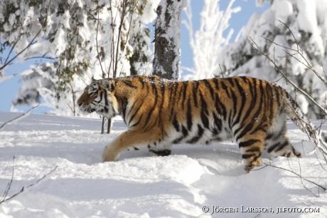 Sibirisk tiger / Amurtiger  Panthera tigris altacia