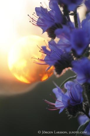 Blue-weed in Sunset Gotland Sweden