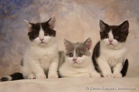 Kattungar  Brittisk korthår