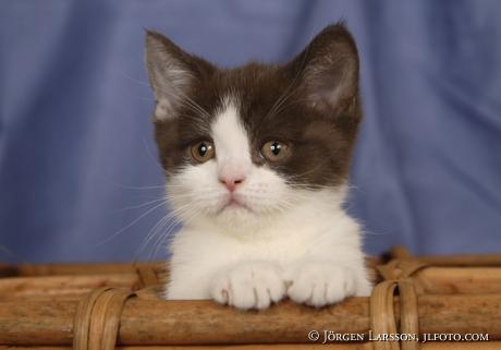 Kattunge  Brittisk korthår