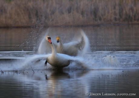 Swan  Bornsjon Sodermanland Sweden