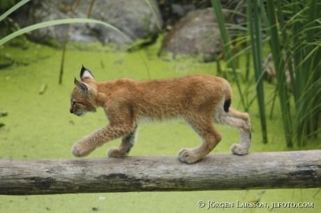 Lodjur Lynx lynx
