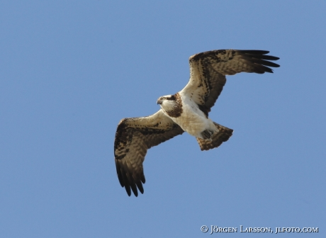 Osprey Pandion haliaetus