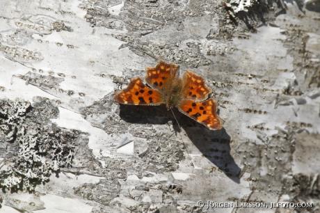 Large Tortoiseshell Butterfly  Nymphalis plychloros