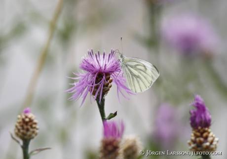 Cabbage Butterfly  Peris brassicae
