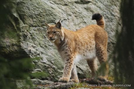 Lodjur Lynx