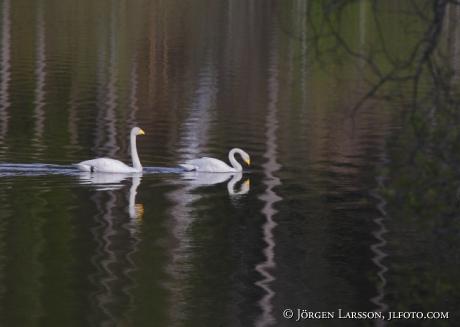 Whoper Swan Cygnus cygnus