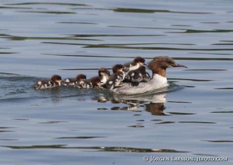 Goosander   Mergus merganser with babybirds