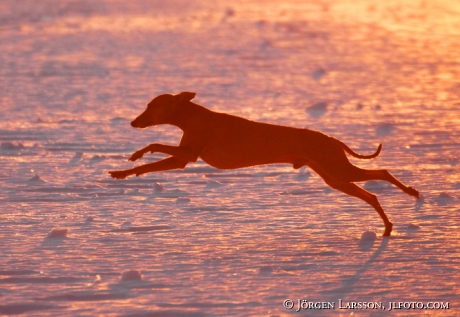 Italian Greyhound running in sunset Sweden