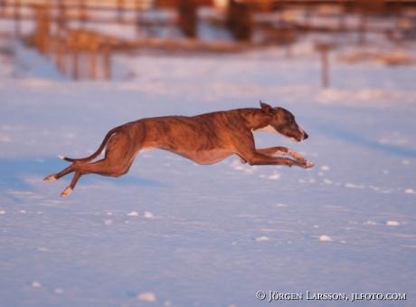 Whippet running fast  Grodinge Sweden