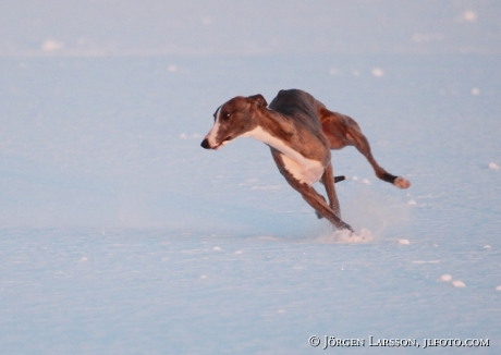 Whippet running in snow