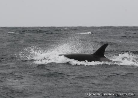 Späckhuggare Orcinus orca som jagar