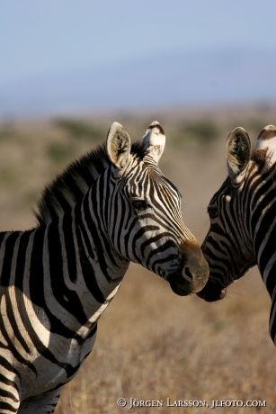 Zebror Kenya