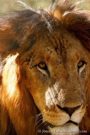 Lejon Kenya