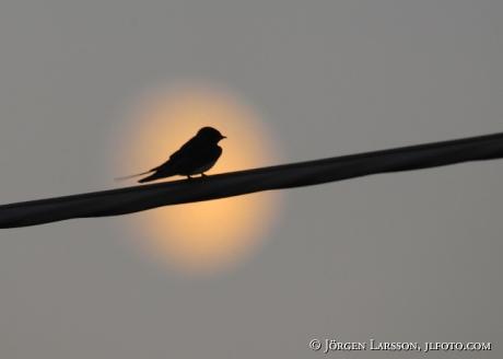 Barn Swallow Hirundo rustica in moonshine