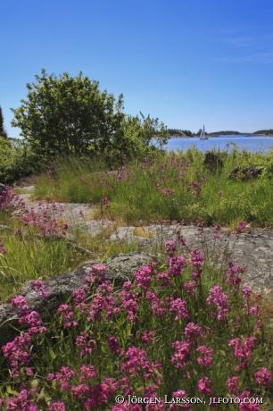 Tjärblomster Nävelsö Småland Sverige
