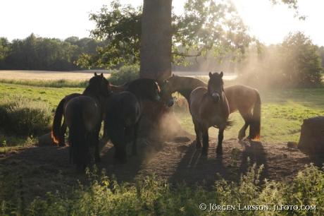 Hästar under träd  Oskarshamn