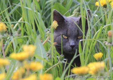 Katt bland maskrosor
