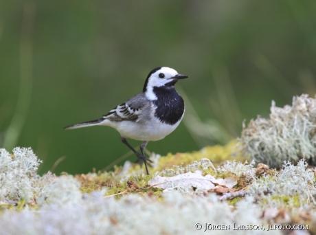 Sädsärla Motacilla alba   Småland