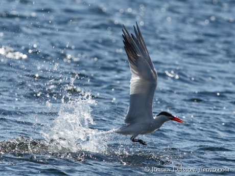 Skräntärna Hydroprogne caspia jagar fisk Småland