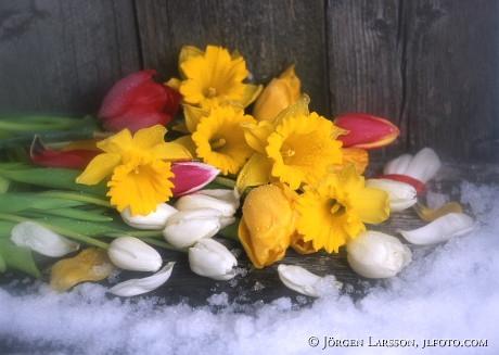 Påskliljor Tulpaner snö